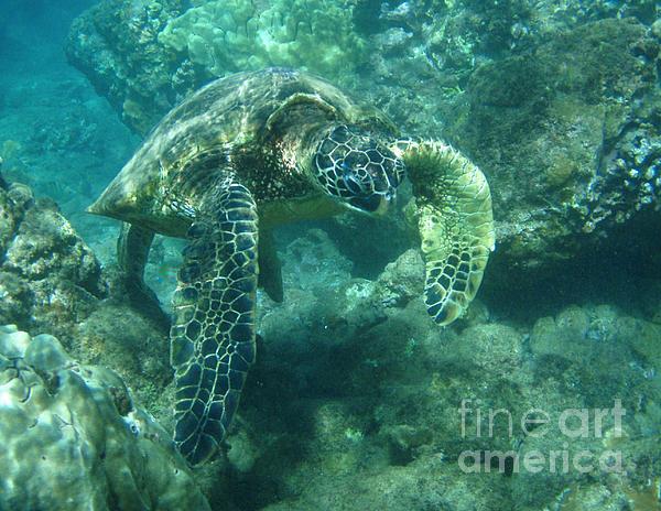 Bob Christopher - Green Sea Turtle Hawaii