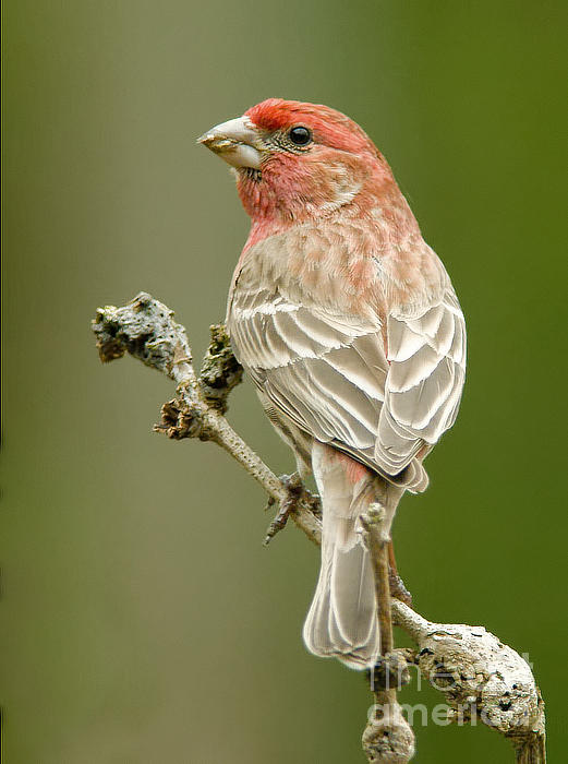 Jean A Chang - Male House Finch