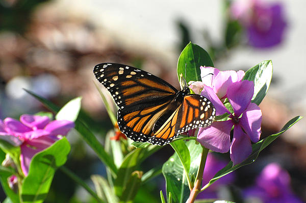 Linda Jacobson - Monarch Butterfly