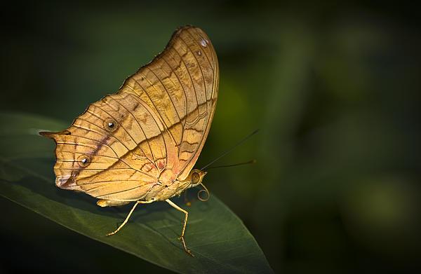 Zoe Ferrie - Saturn Butterfly