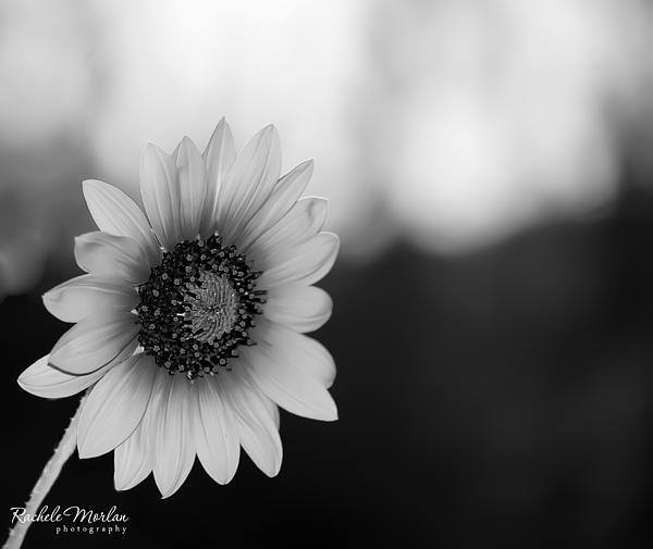Rachele Morlan - Sunflower