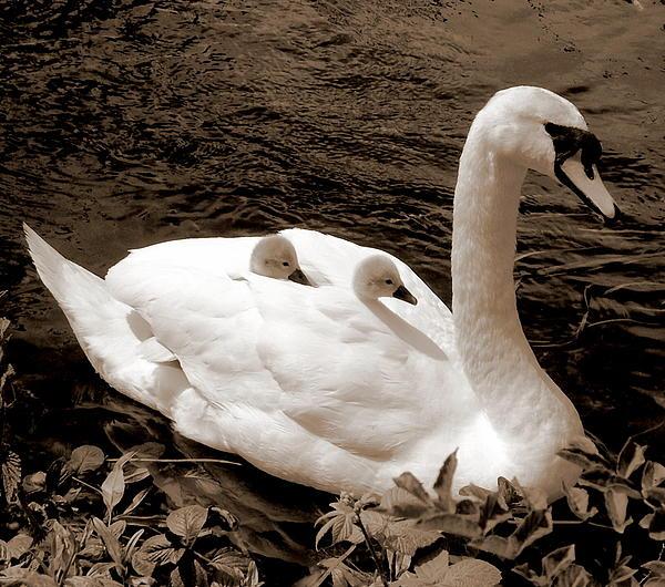 Lynne Dymond - Swan with Cygnets on Back