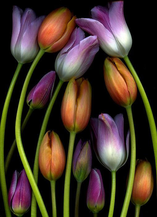 Marlene Ford - Tulips