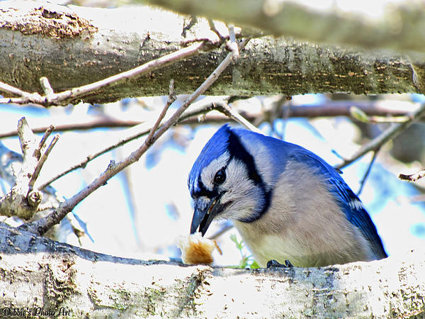 Debbie Portwood - Blue Jay with Bread