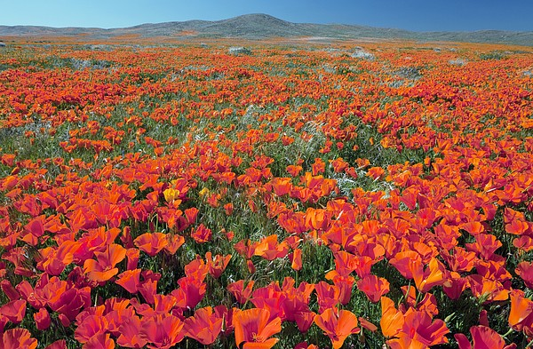 Bob Gibbons - Californian Poppies (eschscholzia)