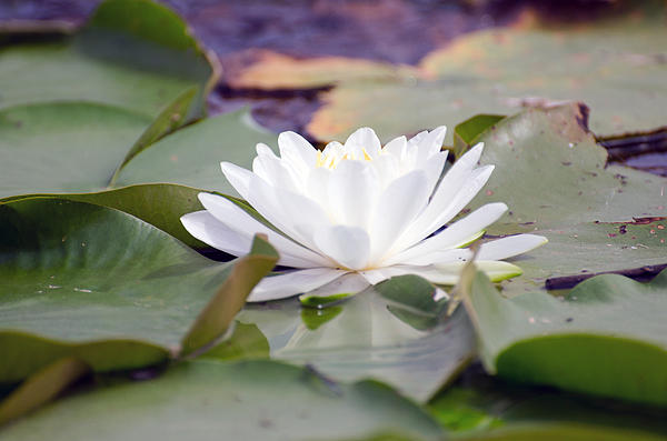 Cheryl Cencich - Water lily