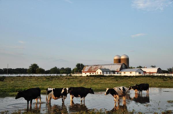 Bill Cannon - A Cow