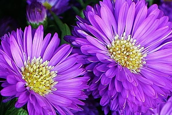Bruce Bley - A Pop of Purple