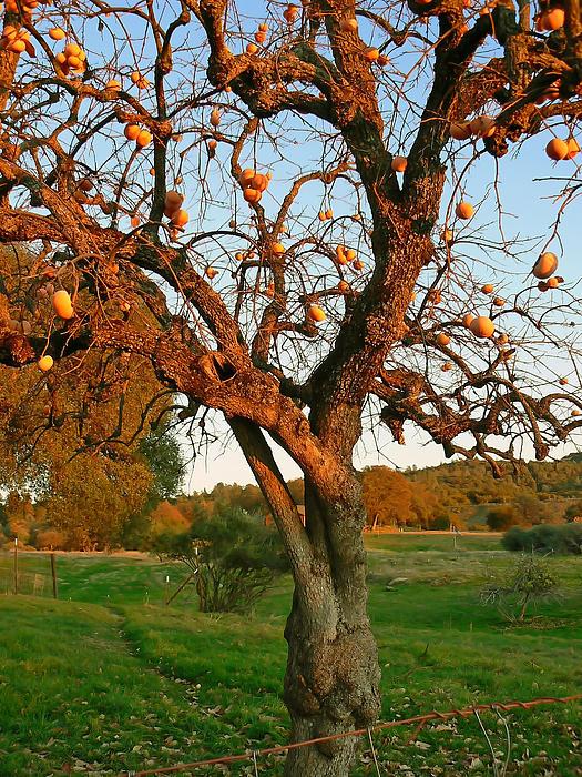 Pamela Patch - American Persimmon Tree