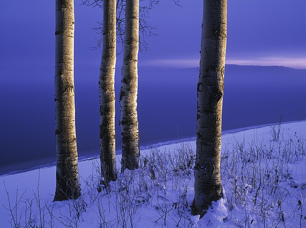 Darwin Wiggett - Aspen Trees