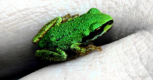 Nick Gustafson - Baby Tree Frog