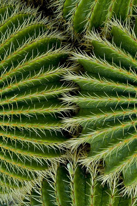 Charles Bowman - Barrel Cactus
