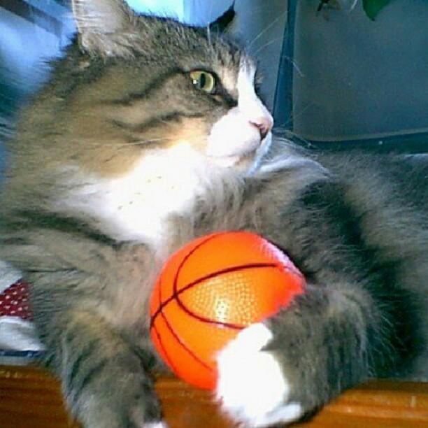 basketball-kitty-cat-cats-pets-kegan-pip