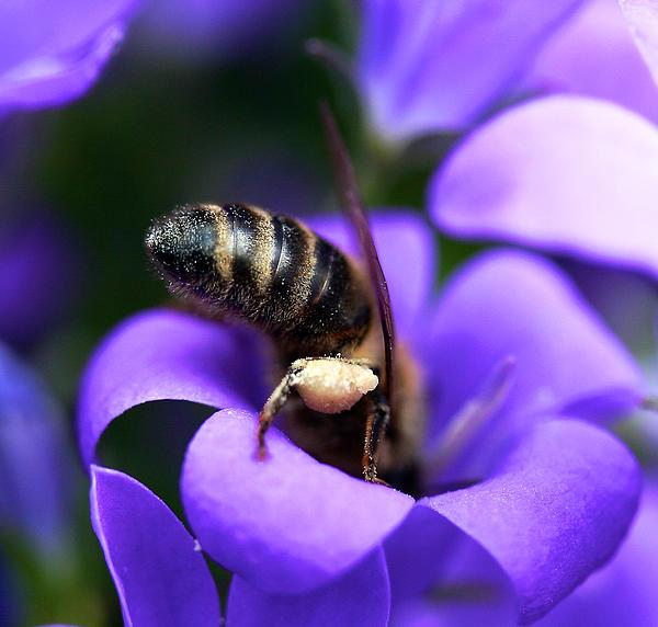 SteveH Photos - Bee-hind