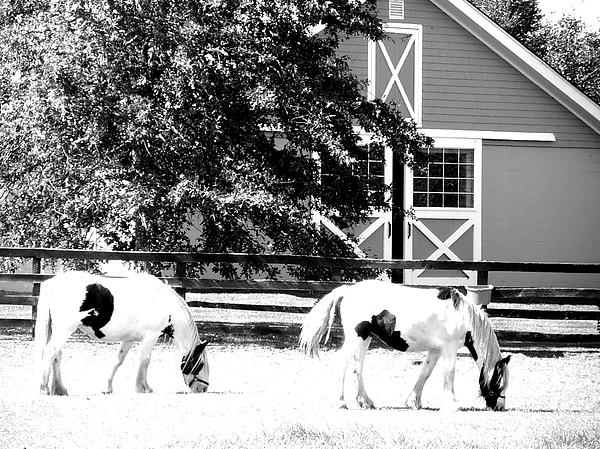 Kimberly Perry - Black and White Clydesdale Grazing
