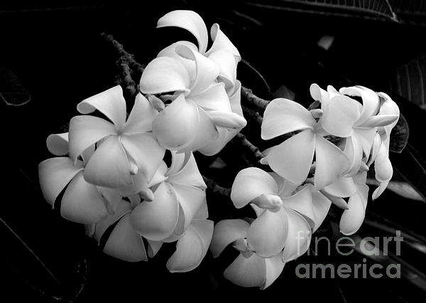 Angela DiPietro - Black and White Singapore Plumeria