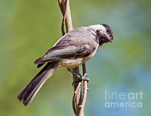 Jean A Chang - Black-Capped Chickadee Clinging to Vine