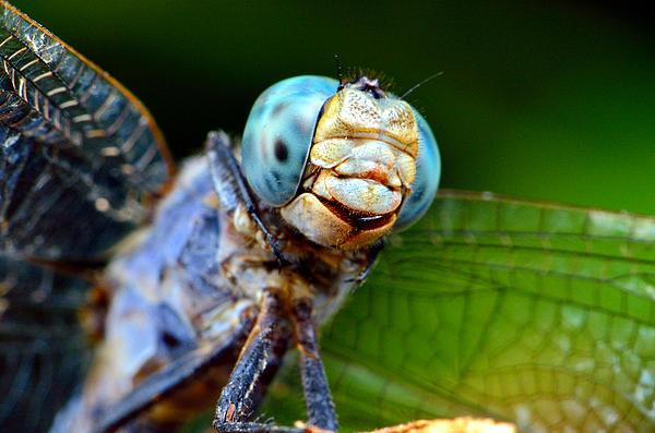 Bogdan Zagan - Blue dragonfly