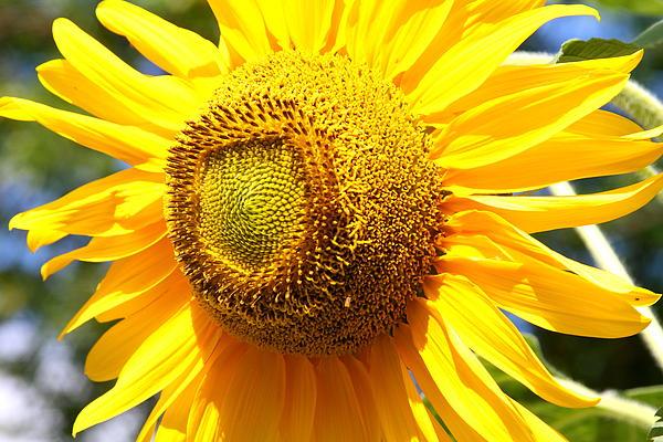 Mike Stouffer - Bright Sunflower