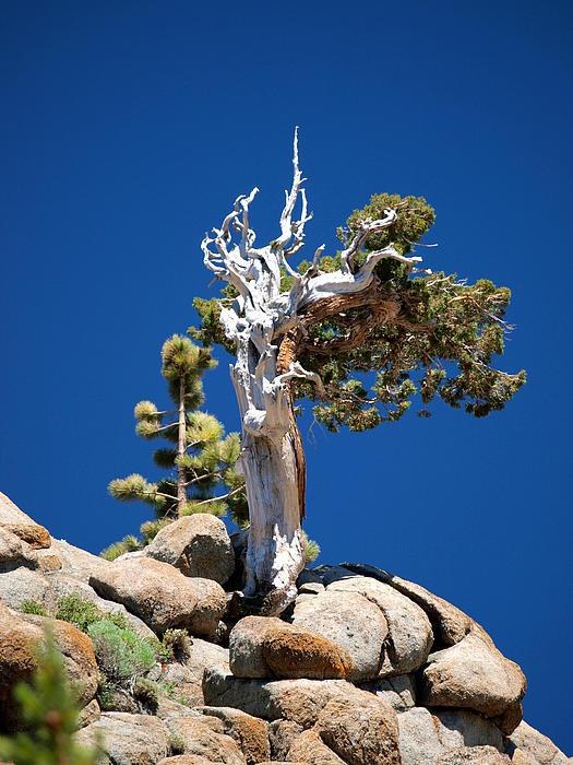 Joe Schofield - Bristlecone Pine