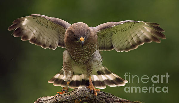 Inspired Nature Photography Fine Art Photography - Broad Winged Hawk