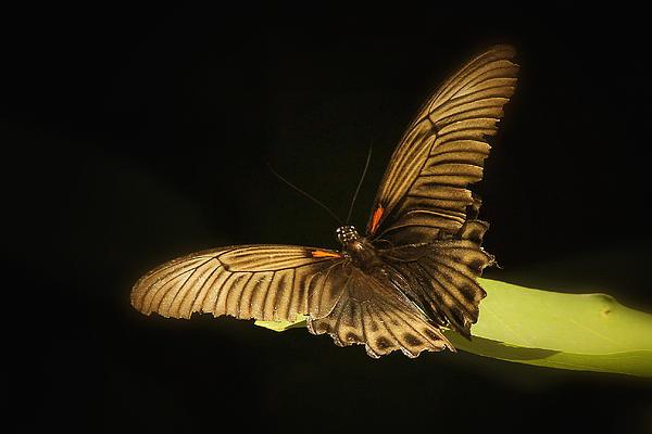 Tonny Ernawan - Brown Butterfly
