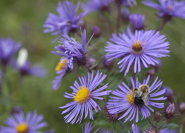 Cindy Lindow - Bumble Bee on Asters
