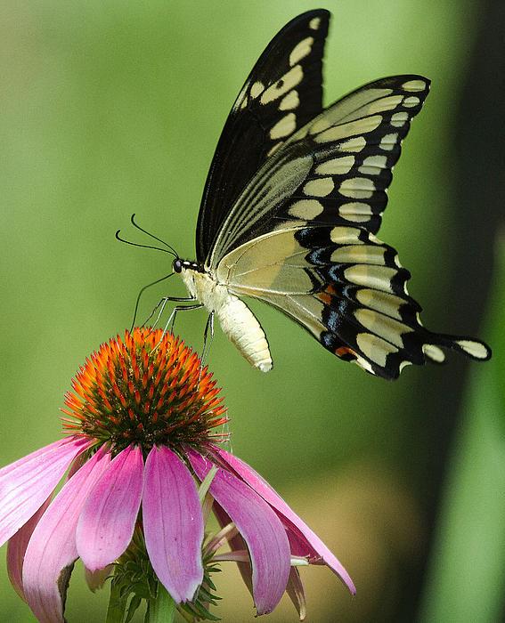 Brenda Hartley-Foubert - Butterfly Beauty