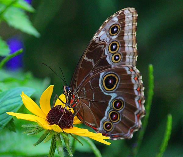 Elizabeth Chevalier - Butterfly