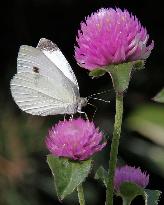 Doris Potter - Cabbage White butterfly with Pink Clover