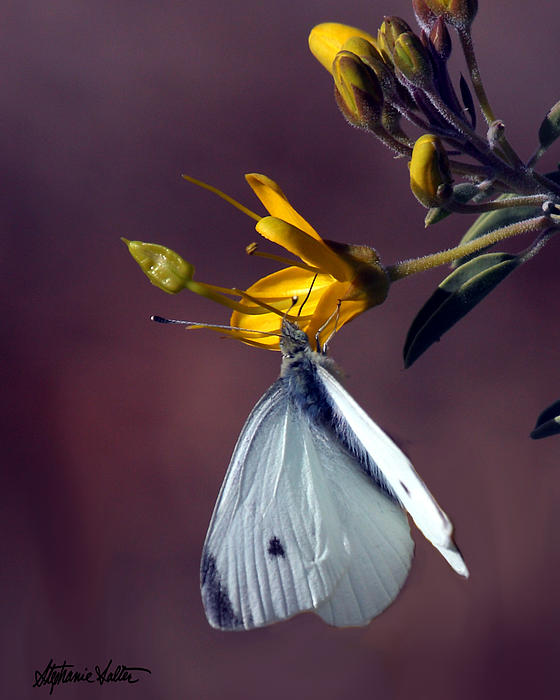 Stephanie Salter - Cabbage White Butterfly