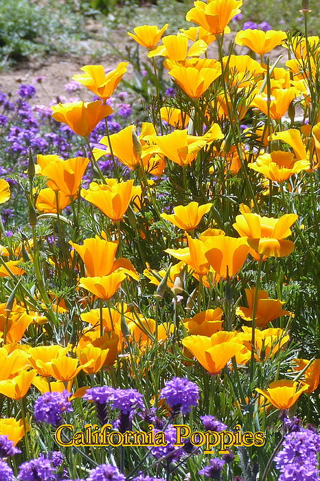 Carla Parris - California Poppies