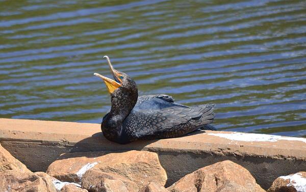 Kathy Gibbons - Calling All Cormorants