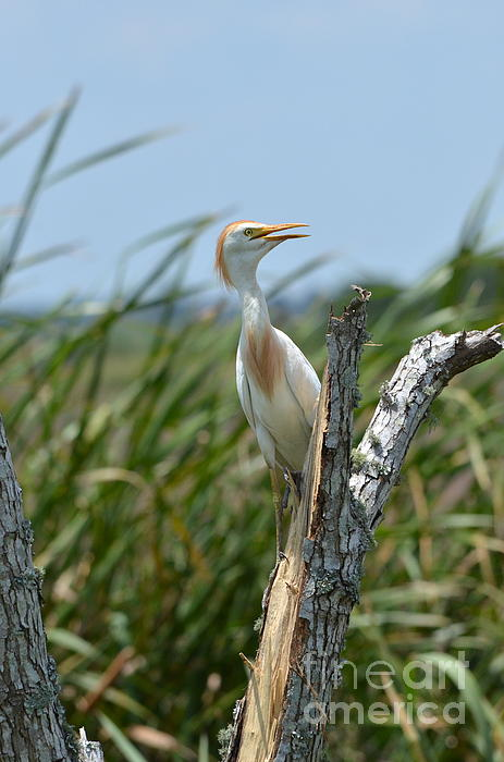 Kathy Gibbons - Cattle Egrets Call