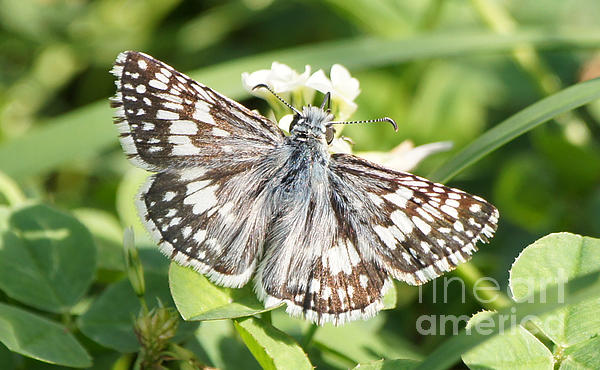Robert E Alter Reflections of Infinity - Checkered Skipper on Clover 1