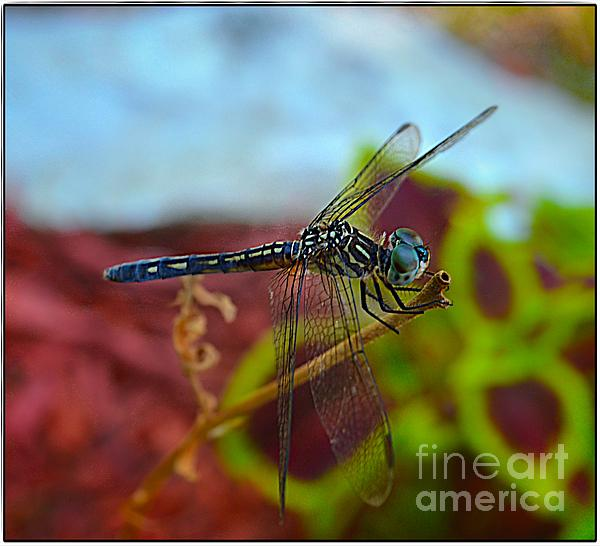 Peggy Franz - Colorful Dragon Fly