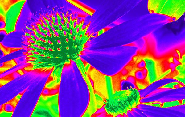 Kim Galluzzo Wozniak - Cone Flowers Gone Wild