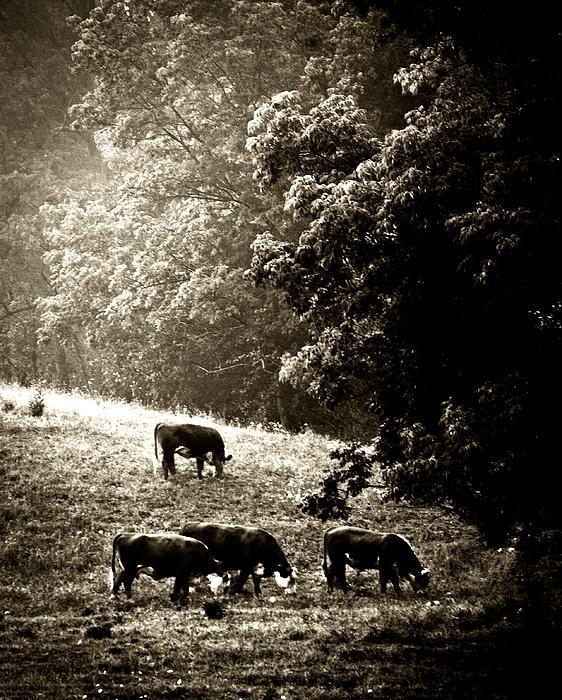 Steve Buckenberger - Cows Breaking Their Fast