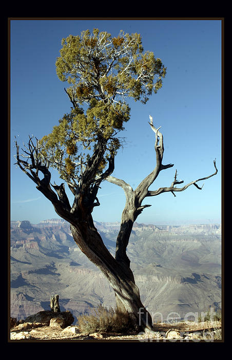 Darleen Stry - Desert Tree at Grand Canyon