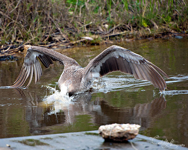 Tammy Smith - Diving Pelican