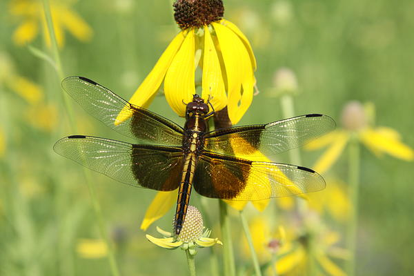 Rick Rauzi - Dragonfly and Coneflower