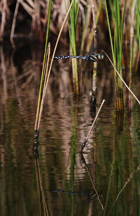 Dawn Forcier - Dragonfly in flight