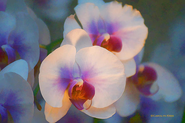Carolyn Krek - Dreamy Orchids