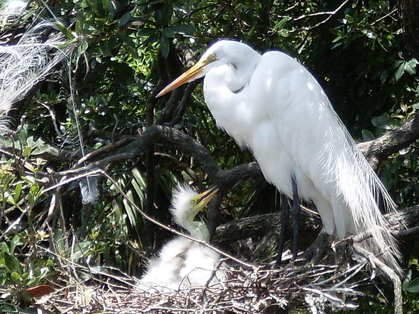 Lisa A Bello - Egret and chick on nest