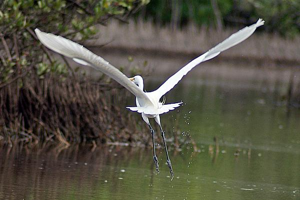 Joe Faherty - Egret in Flight