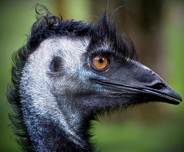 Kym Clarke - Emu