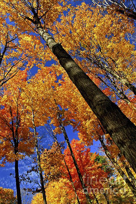 Elena Elisseeva - Fall maple trees