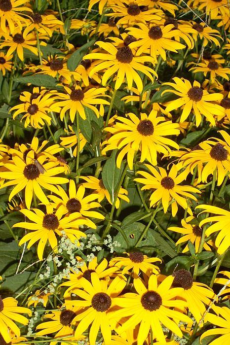 Shawn Hughes - Field of Yellow Daisies