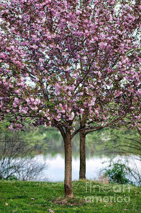 Barbara Dawson - Flowering Cherry Tree