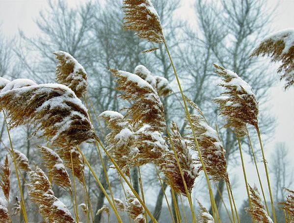 Julie Clark - Golden Grass